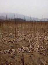 出售纯正宗原种红杆大地生日本厚朴树苗