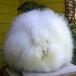 直销纯种、杂交长毛兔/种兔养殖场长毛兔种兔比利时长毛兔种兔