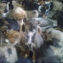 浙江什么地方有賣改良肉狗圖片