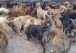 从哪里有卖肉狗的养殖场正宗肉狗苗从哪里有卖的