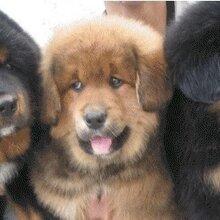 甘肅去哪里有賣改良肉狗圖片