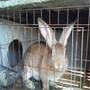济源杂交野兔养殖成本是多少哪里有卖杂交野兔的养殖场图片