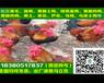 六盘水高产绿壳蛋鸡苗厂家直销,高产绿壳蛋鸡苗产蛋管理