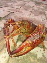 优质鲜嫩,底板干净洪湖清水小龙虾,常年供应,质优价廉,支持先款