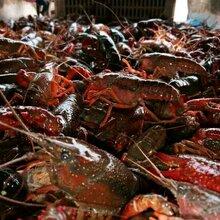 品相优良洪湖清水小龙虾,洪湖利江水产养殖基地直接供应上新