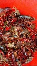 小龙虾出售,外地客户须先款,支持上门提货价格更优