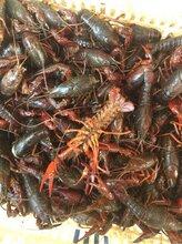 100亩养殖面积,洪湖清水小龙虾直供终端采购商,价格量大从优