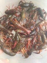 洪湖小龙虾有售,支持上门提货和先款,寻全国优质合作伙伴