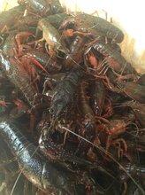 洪湖优质清水小龙虾即将全面上新345规格或通货有售
