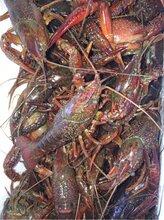 洪湖优质水源地,清水小龙虾养殖基地大量上新,利江水产供应