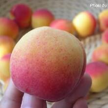 陜西杏子基地,早熟杏子產地,大棚杏子上市批發價格圖片