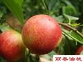 供应丽春油桃,早熟,甜油桃,耐运输油桃品种,50以上产地直销图片