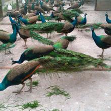 孔雀苗批發價格,孔雀養殖圖片