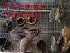 肉兔养殖场,肉兔市场价格,肉兔养殖前景