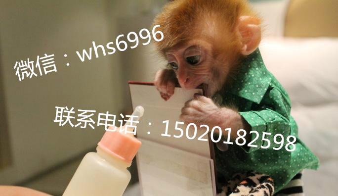 可爱的小石猴我买一只宠物石猴宠物猴子价格