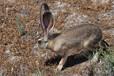 最新杂交野兔报价,杂交野兔养殖回收合同