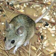 潍坊灭老鼠/防老鼠/抓老鼠/逮老鼠老鼠药专业灭鼠