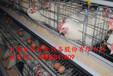 金凤鸡笼养殖设备/养鸡厂/养鸡场利润/如何养鸡致富/蛋鸡养殖/养殖设备大全