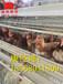 湖北鸡笼生产厂家_金凤蛋鸡笼养设备知名品牌
