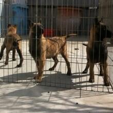 最新护卫犬的品种及价格行情