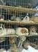 肉狗肉狗苗肉狗養殖場肉狗價格-山東盛利肉狗養殖場