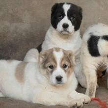 猎犬品种及价格行情,护卫犬品种及排名