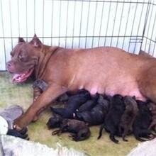 大型护卫犬驯养基地出售:罗威纳、高加索、比特犬等