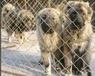 山东盛利犬舍常年出售大型犬、巨型犬等,全国包邮