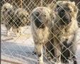 湖北有养肉狗的吗,养殖肉狗利润分析及养殖前景图片