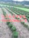 马尼拉草坪价格,马尼拉草坪特点,马尼拉草坪的铺种