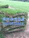 广州马尼拉草皮价格广州马尼拉草皮行情广州马尼拉草皮供应商