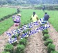 江西马尼拉草皮(江西赣州绿化草坪价格/马尼拉草坪报价)