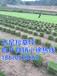 马尼拉草坪规格平方米厘米马尼拉草价格_图片_行情_报价