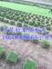 绿化草坪多少钱一平方米/湖南马尼拉草坪价格/行情/草坪规格