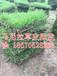 贵州马尼拉草皮最新行情贵州马尼拉草坪(贵阳绿化草坪)价格