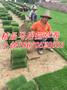 云南马尼拉草皮昆明草坪价格图片