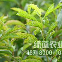 贵州李子苗,贵州李树苗哪里有卖图片