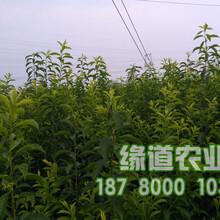 脆红李苗,脆红李树苗价格,脆红李子树苗基地图片