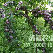 贵州脆红李苗批发,贵州脆红李树苗价格,贵州脆红李苗种植图片