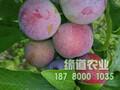 1公分脆红李苗批发价格图片