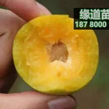 蜂糖李子苗,蜂糖李苗,貴州蜂糖李樹苗哪里有賣圖片