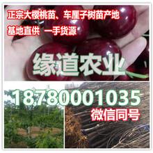批发大樱桃树苗,哪里有2公分大樱桃苗卖图片