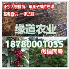 重庆车厘子树苗种植基地,重庆车厘子苗在哪里能买到图片