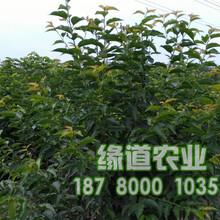 大櫻桃苗新品種,大櫻桃樹苗哪里有賣圖片