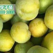 蜂糖李子樹苗,蜂糖李苗,2公分李子苗批發價格圖片