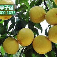 新品種黃桃樹苗價格,黃桃樹苗多少錢一棵圖片