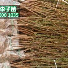 新品种桃苗批发、1-3公分桃树苗价格是多少图片