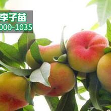 新品种桃苗价格行情,今年桃树苗出售价格图片