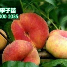 桃树苗多少钱一棵,晚熟桃树苗批发图片