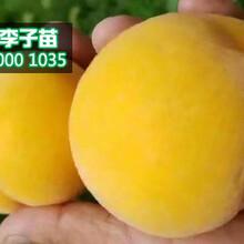 云南黄桃树苗价格,云南哪里有黄桃苗卖图片